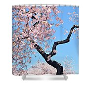 Cherry Blossom Trilogy II Shower Curtain