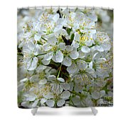 Chickasaw Plum Blooms Shower Curtain