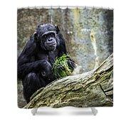 Chimpanzee Foraging Shower Curtain