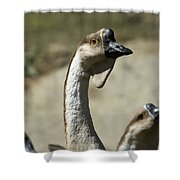 Chinese Geese Anser Cygnoides At Zoo Shower Curtain