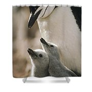 Chinstrap Penguin Pygoscelis Antarctica Shower Curtain by Tui De Roy