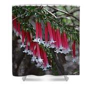 Christmas Bells 1 - Australian Native Fuchsia Shower Curtain