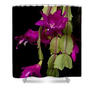 Christmas Cactus Purple Flower Blooms Shower Curtain