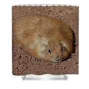 Chubby Prairie Dog Resting In A Shallow Hole Shower Curtain