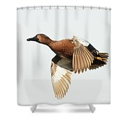 Cinnamon Teal On The Wing Shower Curtain