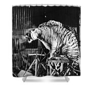 Circus: Tigers Shower Curtain