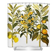 Citron And Orange, 1613 Shower Curtain