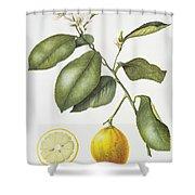 Citrus Bergamot Shower Curtain by Margaret Ann Eden