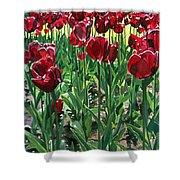 Claret Tulips  Shower Curtain
