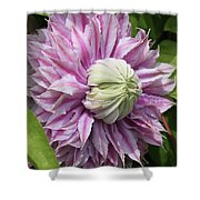 Clematis Josephine #7 Shower Curtain