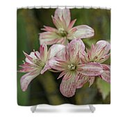 Clematis Montana Marjorie 1963 Shower Curtain