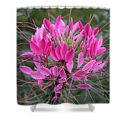 Cleome Spinosa  Shower Curtain