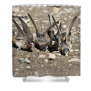 Cliff Swallows Gather Mud Shower Curtain