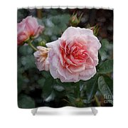 Climber Romantica Tea Rose, Digital Art Shower Curtain