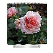 Climber Romantica Tea Rose Shower Curtain