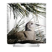 Close Up African Collared Dove Shower Curtain