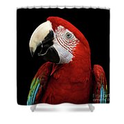Close-up Funny Portrait Green-winged Macaw, Ara Chloroptera, Isolated Black Background Shower Curtain by Sergey Taran
