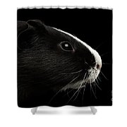 Close-up Guinea Pig On Isolated Black Background Shower Curtain by Sergey Taran