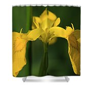 Close Up Of A Yellow Bearded Iris Shower Curtain
