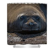 Close-up Of Elephant Seal Looking At Camera Shower Curtain