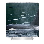 Close-up Of Killer Whale In Johnstone Shower Curtain
