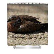 Close-up Of Mottled Pigeon On Sandy Ground Shower Curtain