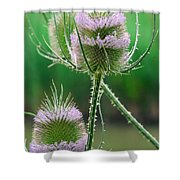 Close Up Of Teasel Blossoms Revealing Shower Curtain