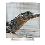 Close-up Of Yacare Caiman On Sandy Beach Shower Curtain