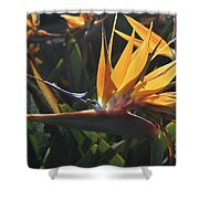 Close Up Photo Of A Bee On A Bird Of Paradise Flower  Shower Curtain