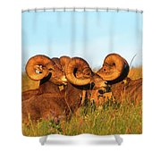 Close Up Portrait Group Of Big Bighorn Mountain Sheep Rams Shower Curtain