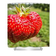 Close Up Shot Strawberry With Planting Strawberry Background Shower Curtain by Alex Grichenko