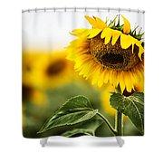 Close Up Single Sunflower In South Dakota Shower Curtain