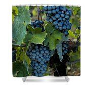 Close View Of Chianti Grapes Growing Shower Curtain