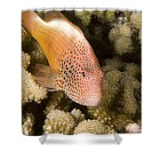 Closeup Of A Freckled Hawkfish Shower Curtain