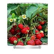 Closeup Of Fresh Organic Strawberries Growing On The Vine Shower Curtain