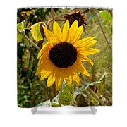 Closeup Of Sunflower In Farm Shower Curtain