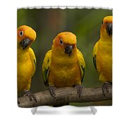 Closeup Of Three Captive Sun Parakeets Shower Curtain