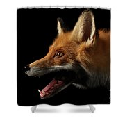 Closeup Portrait Of Red Fox In Profile Isolated On Black  Shower Curtain