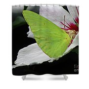 Cloudless Giant Sulphur Butterfly  Shower Curtain