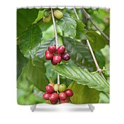 Coffea Coffee Growing In The Balinese Countryside. Shower Curtain