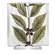 Coffee Plant, 1735 Shower Curtain