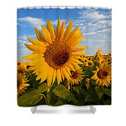 Colby Farms Sunflower Field Newbury Ma Sunrise Shower Curtain