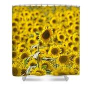 Colby Farms Sunflower Field Newbury Ma Shower Curtain