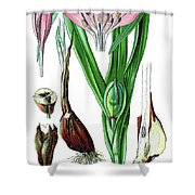 Colchicum Autumnale, Commonly Known As Autumn Crocus, Meadow Saf Shower Curtain