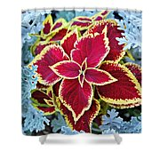 Coleus And Dusty Miller Shower Curtain