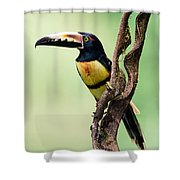 Collared Aracari Pteroglossus Shower Curtain
