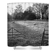 Colonial Sheep In Pasture Shower Curtain
