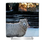 Colonial Sheep In Winter Shower Curtain