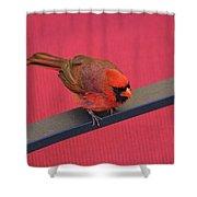 Colour Me Red - Northern Cardinal - Cardinalis Cardinalis Shower Curtain