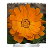 Colourful Orange Signet Marigold  Shower Curtain